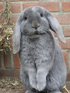 Marvelous 21 Cute Flemish Giant Rabbit https://meowlogy.com/2018/02/01/21-cute-flemish-giant-rabbit/ In the event the rabbit isn't utilized to handling, then you are going to have big problems later on when, for instance, you will need to pick them up or examine them