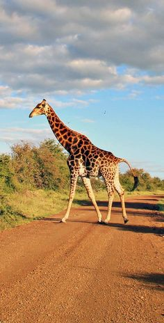 Giraffe crossing the road at Kruger National Park | Where to find the big 5 - The Ultimate Guide to Wildlife Safari in South Africa | via @Just1WayTicket | Photo © Sabrina Iovino