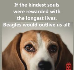 Are you interested in a Beagle? Well, the Beagle is one of the few popular dogs that will adapt much faster to any home. Whether you have a large family, p Dachshund Facts, Dachshund Funny, Pocket Beagle, Cute Beagles, Beagle Puppy, Baby Beagle, Daschund, Puppy Eyes, Family Dogs