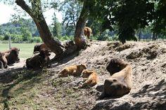Kurozwęki. Safari wśród bizonów