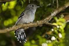 Foto choca-de-sooretama (Thamnophilus ambiguus) por Ruy Salaverry | Wiki Aves - A Enciclopédia das Aves do Brasil