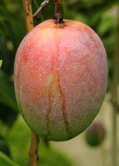 Manga (Mangifera indica L. Mango Fruit, Mango Tree, Fruit And Veg, Fruits And Vegetables, Fresh Fruit, Exotic Fruit, Tropical Fruits, Fruit Garden, Garden Trees