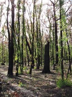 regenerating forest, 6 months after bushfire, Blue Mountains, Australia