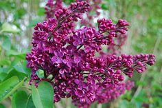 Сирень обыкновенная, Agincourt Beauty  18 мая, суббота, международный день Сирени.