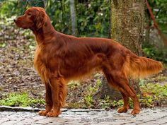 Dogs Breeds – Dog Care Advice Straight From The Experts ** Find out more at the image link. Dogs Breeds – Dog Care Advice Straight From The Experts ** Find out more at the image link. Irish Setter Dogs, Setter Puppies, Dogs And Puppies, Red Setter Dog, Doggies, Sweet Dogs, Cute Dogs, Dog Training Bells, Best Dog Training