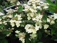 Pluimhortensia | Hydrangea paniculata 'Dharuma'