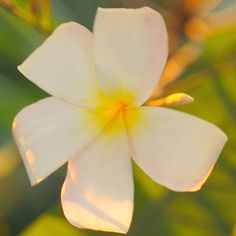 Plumeria A tropical tree famous for its beautiful flowers and stunning fragrance, plumeria flowers are often used to make Ha. Plumeria Flowers, Tropical Flowers, Indoor Flowers, Best Smelling Flowers, Scented Geranium, Acid Loving Plants, Yellow Plants, Flower Pot Design, Best Indoor Plants