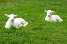 st croix sheep | ... polled st croix hair sheep info @ heritagestcroix com 360 295 3338