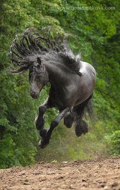 Friesian stallion Daan