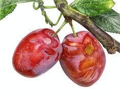 Plums 4th September - by Anna Mason   Watercolour on illustration board   solo exhibition at The Royal Horticultural Society's garden at Wisley, Surrey, UK.