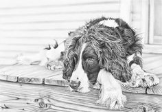 Post Walk Chillout by Frances Vincent Arts Dog Pencil Drawing, Realistic Pencil Drawings, Graphite Drawings, Bird Drawings, Animal Drawings, Charcoal Drawings, Drawing Animals, Springer Spaniel, Cocker Spaniel