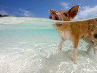 Schweineglück auf den Bahamas