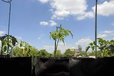 rooftop tomatoes