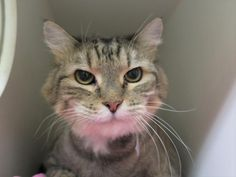 skylar A1111277  DECLAWED** SKYLAR CAME IN WITH 5 OTHER CATS WHEN OWNER DIED – HAS DENTAL ISSUES WHICH NEED FOLLOW UP CARE – ALREADY SPAYED AND ONLY 4 YRS OLD.
