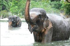 Sumatran elephant (Elefante-de-Sumatra) - 2014, em vias de extinção.