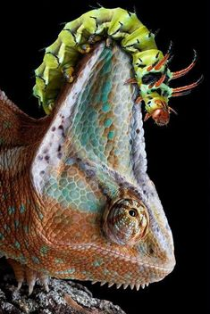 crazy caterpillar climbs the chameleon crest of death...this looks like a painting