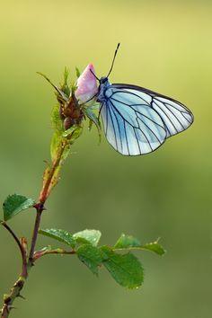 Blue butterfly on a rosebud.