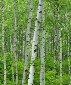 BIRCH - Tree of new beginnings and the seed of change Silver Birch has a…
