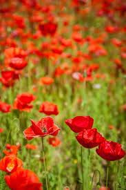 Image result for PUBLIC DOMAIN PICS, ORANGE POPPIES - where to find free, beautiful poppy images.