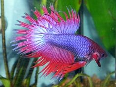 Betta splendens...thinking about getting one or two of these for my Fluval Chi 5 gal. tank