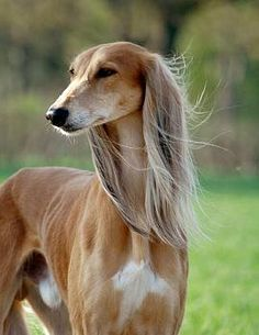 The Saluki is an ancient Sighthound originating from the Middle East. Saluki is considered a gift from Allah and is officially the fastest dog in the world. Big Dogs, I Love Dogs, Cute Dogs, Dogs And Puppies, Doggies, Beautiful Dogs, Animals Beautiful, Cute Animals, Magyar Agar