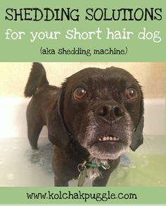 Once upon a time, I thought that having a short haired dog would mean less grooming, less hair and less shedding. Yeah right! Luckily we have some solutions to keep dog shedding to a minimum. Stop Dog Shedding, Dog Shedding Remedies, Hair Shedding, Dry Dog Shampoo, Zee Dog, Short Haired Dogs, Short Dog, Vanellope, Pet Grooming