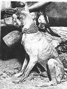 basenji wearing bell