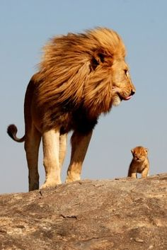 "I said ""look it's Mufasa and Simba."" Braeden says, ""that's not Simba. That is not a Lion King.that is just a lion cub. Animals And Pets, Baby Animals, Cute Animals, Wild Animals, Animals Planet, Animals Images, Funny Animals, Beautiful Cats, Animals Beautiful"