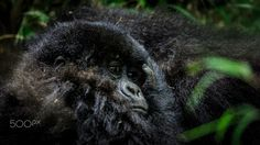Gorilla baby - A baby gorilla seeks comfort in mom's arms