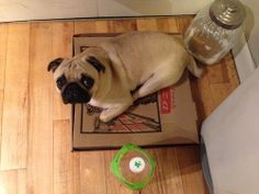 moosepug:  Pizza Pug