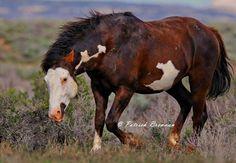 picture of PJ- Picasso Junior  Patrick Brennan    www.blackhatphoto.us    Friends of Picasso- Grand Wild Stallion of Sand Wash Basin