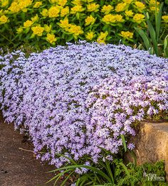 Carpet sunny spots in your landscape with moss phlox.