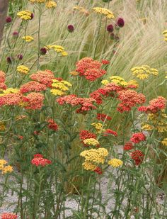 Schafgarbe und Ziergräser Plants, Plant Combinations, Plant Design, Rooftop Garden, Perennial Garden, Perennials, Urban Garden, Growing Plants, Garden Art