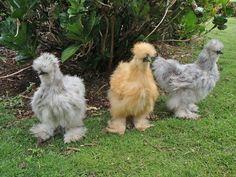 Silkie Bantam Chickens. No, I'm not joking.