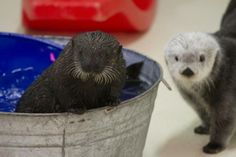 After four months of around-the-clock care, the orphaned sea otter pup adopted by the Shedd Aquarium in January will go on public display this week. Chicago Aquarium, Shedd Aquarium, Baby Otters, Otter Pup, Otter Love, Animal Tracks, All Gods Creatures, Killer Whales, Amphibians