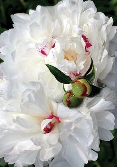 Heirloom Peony - white with pink
