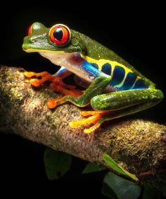 Exotic Pets, Exotic Animals, Red Eyed Tree Frog, Siberian Tiger, Bengal Tiger, Tree Frogs, African Elephant, Red Eyes, Animal Photography