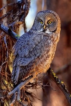 ☀Great Gray Owl by Doug Dance Nature Photography*