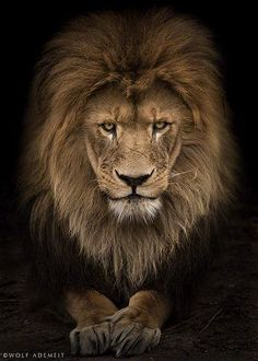 21 Intense Portraits Of Zoo Animals Like You've Never Seen Them Before : Lion Lion Images, Lion Pictures, Animals And Pets, Cute Animals, Zoo Animals, Grand Chat, Leo Quotes, Lion Wallpaper, Leo Love