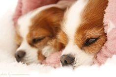 おはようございます🐶🐶☀. 今朝も一緒に潜っています❤ .  みなさんも素敵な週末を✨✨ * Good morning 🐶🐶☀. They are sleeping together this morning too❤ . Have a great weekend✨✨ *  #キャバリア #キャバリアキングチャールズスパニエル #キャバリア部 #犬バカ部 #ふわもこ部 #いぬら部 #いぬすたぐらむ #犬のいる暮らし #愛犬 #おはよう #一緒 #ファインダー越しの私の世界 #cavalier #cavalierkingcharlesspaniel #cavlife #cavalierslove_feature #cavaliercorner #dogstagram #instadog #dogsofinsta #cavaliersofinstagram #doglife #doglover #dogoftheday #ilovemydog #instadaily #cute #goodmorning #together #anncocoro