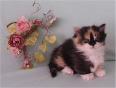 Napoleon kitten - they are munchkins combined with persians
