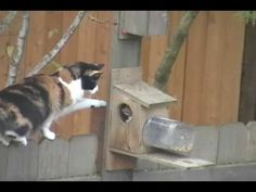 Funniest Video of Calico Cat stalking Hungry Squirrel.wmv (Maryland State Cat: Calico)
