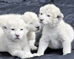White Lions are rare animals found in South Africa. These are some white lion cubs. Rare Animals, Cute Baby Animals, Animals And Pets, Funny Animals, Wild Animals, Beautiful Cats, Animals Beautiful, Beautiful Babies, Tier Fotos