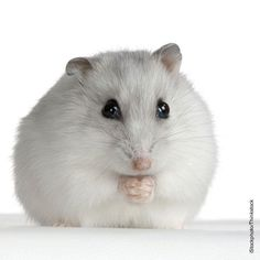hamster sitting with hands together