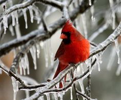 Cardinal perched on icy branch.