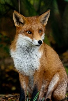 Red Fox at the British Wildlife Centre by Sophie L. Miller, via Flickr