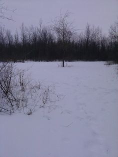 Turnip field in front of The Ditch Blind. Deer are still digging down for food. About 4-6 inches of snow.