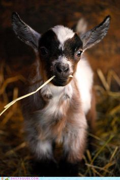 Sweet little Pygmy goat! I'd love to have a field with a few of these goats and some ducks and hens out in the country somewhere. Ideally beside my 'chocolate-box' granite cottage that I am going to buy when I win the lottery tomorrow night! (Please, please, please....?) 8)