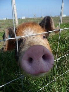 This little piggy wants attention
