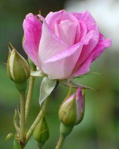 #rose #flowers #pink